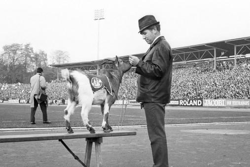 Geißbock Hennes Maskottchen vom 1. FC Köln - 11FREUNDE Shop - Fußball Foto Wandbild